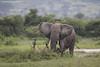 Bull elephant after his mud bath