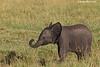 Very young Elephant Calf. Kenya.