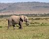 Mara Triangle Elephant. Kenya.