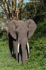 Ngorongoro Elephant.