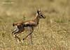 Newborn Thomson's Gazelle.  Mara Triangle ,Kenya.