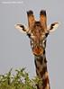 Giraffe.  Ndutu  Tanzania.