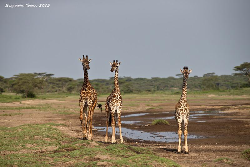 Giraffe Family group. Ndutu ,Tanzania.