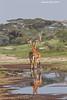 Giraffe reflections. Ndutu  Tanzania.