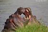 Hippos at play.  Masai Mara, Kenya.
