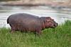 Hippo Calf ,Masai Mara. Kenya.