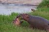 Playful Hippo babies.  Masai Mara, Kenya.