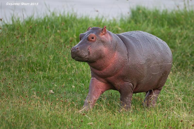 Hippo calf.