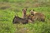 Hyena Kill.  Ndutu, Tanzania.