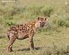 Spotted Hyena.  Ndutu  Tanzania.