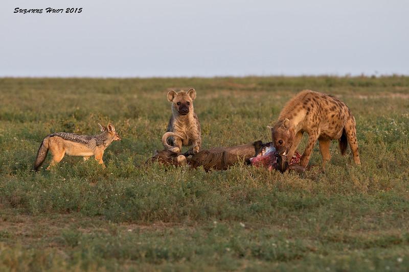 Hyena Kill.  Ndutu , Tanzania.