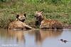 Spotted Hyenas relaxing.  Ndutu, Tanzania.