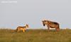 Spotted Hyena and Jackal. Ndutu , Tanzania.
