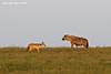 The Jackal and The Spotted Hyena .. Ndutu  Tanzania.