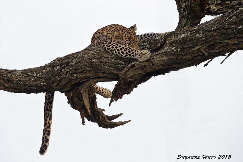 Leopard resting.