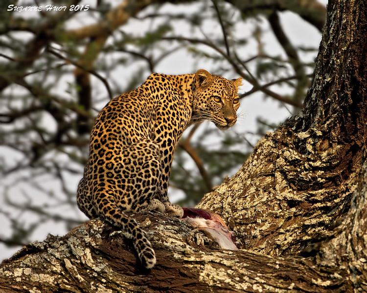 Leopard with kill .