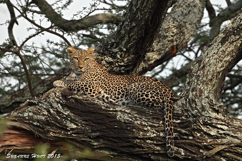 Ndutu Leopardess.