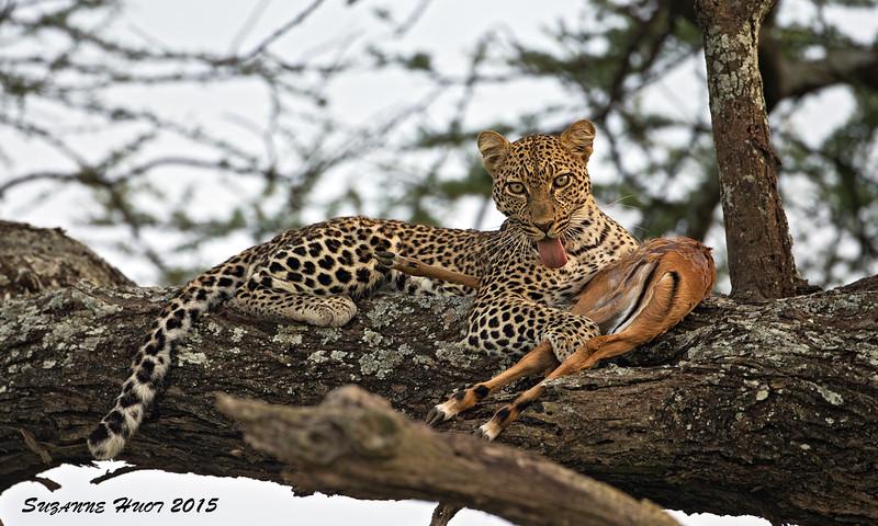 Leopard with Thomson's Gazelle kill