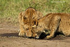 Thirsty lion cubs