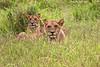 Lion cubs .