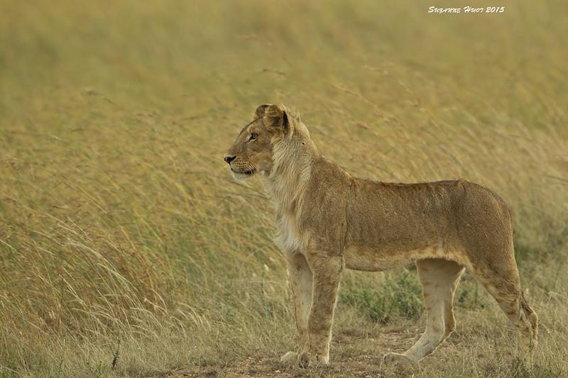 Young male Lion.  Masai Mara.