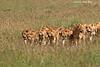 Pride of Liones