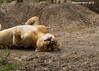 Lioness relaxing.  Ndutu  Tanzania.