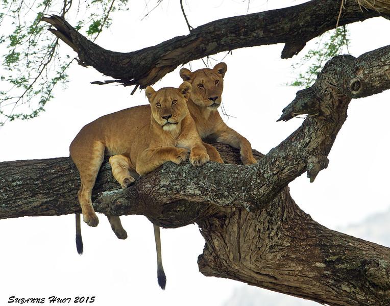 Lioness's 20 feet up a tree.  Serengeti.  Tanzania