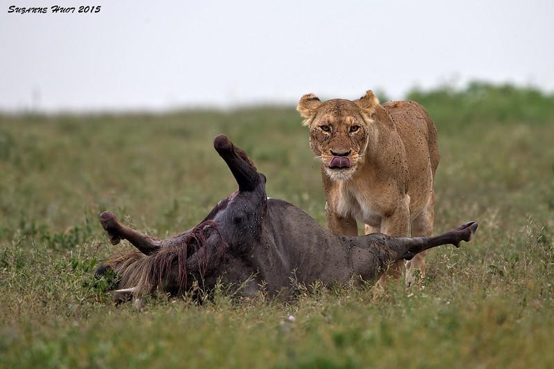 Lioness with Wildebeest Kill.  Ndutu Tanzania.