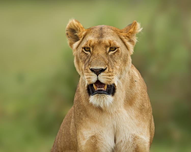 Lioness portrait. Masai Mara. Kenya.
