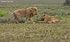 Courting Lions , Ndutu, Tanzania.