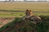 Masai Mara Lion.