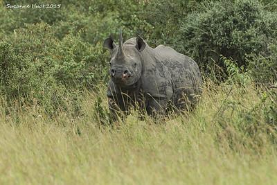 Black Rhinoceros, Masai Mara .  Kenya