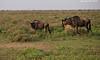 Wildebeest  with calf.  Ndutu  Tanzania.