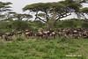 Wildebeest Herd.  Ndutu  Tanzania.
