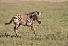 Zebra colt  Ngorongoro Crater,  Tanzania.