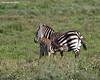 Zebra foal nursing. Ndutu , Tanzania.