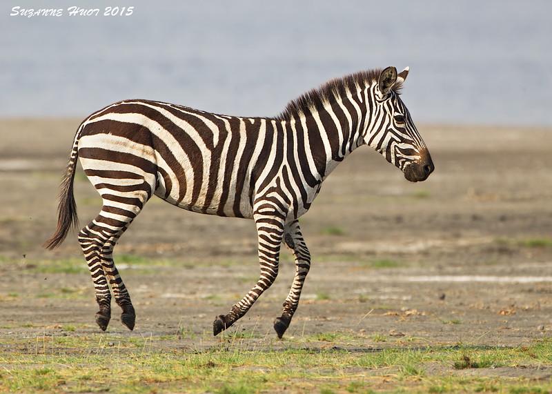 Ndutu  Plains ,  Tanzania.