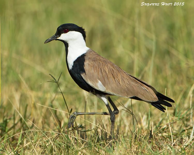 Spur-winged Plover. Mara Triangle  Kenya.
