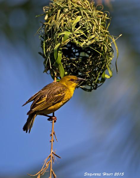 Black-headed  ( Village ) weaver female inspecting nest.