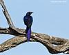 Blue Starling, Masai Mara  Kenya.