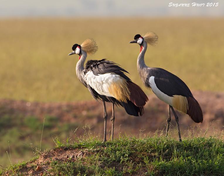 Grey crowned Cranes.