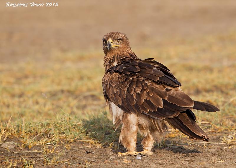 Tawney Eagle at Sunrise.  Ndutu.