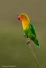 "Fisher""s Lovebird. Ndutu . Tanzania"