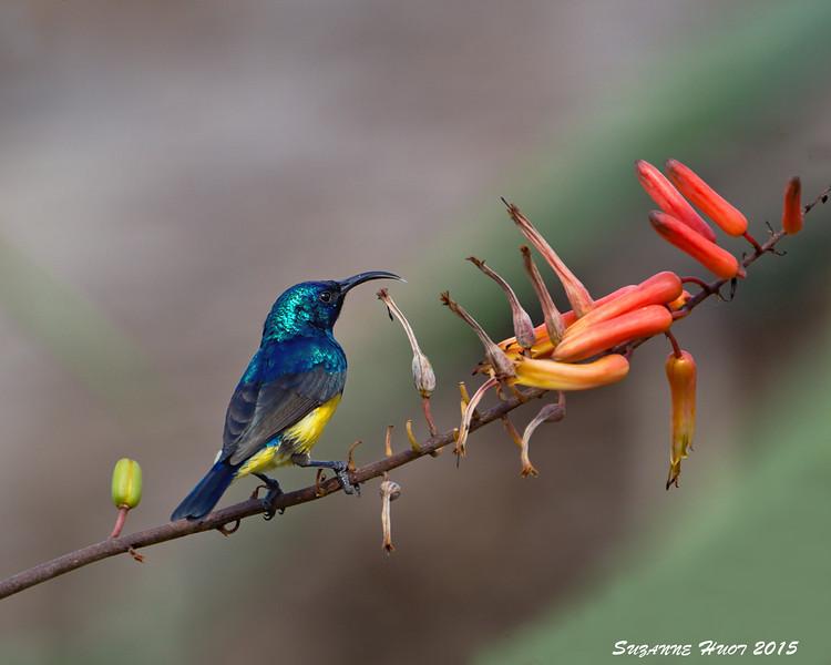 Loveridges's Sunbird, male Ndutu  Tanzania.
