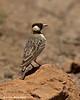 Fischer's Sparrow-lark.  Ngorongoro Crater.  Tanzania