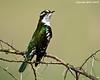 Diederik Cuckoo. Ndutu  Tanzania.