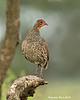 Red Spurfowl. Ndutu  Tanzania.