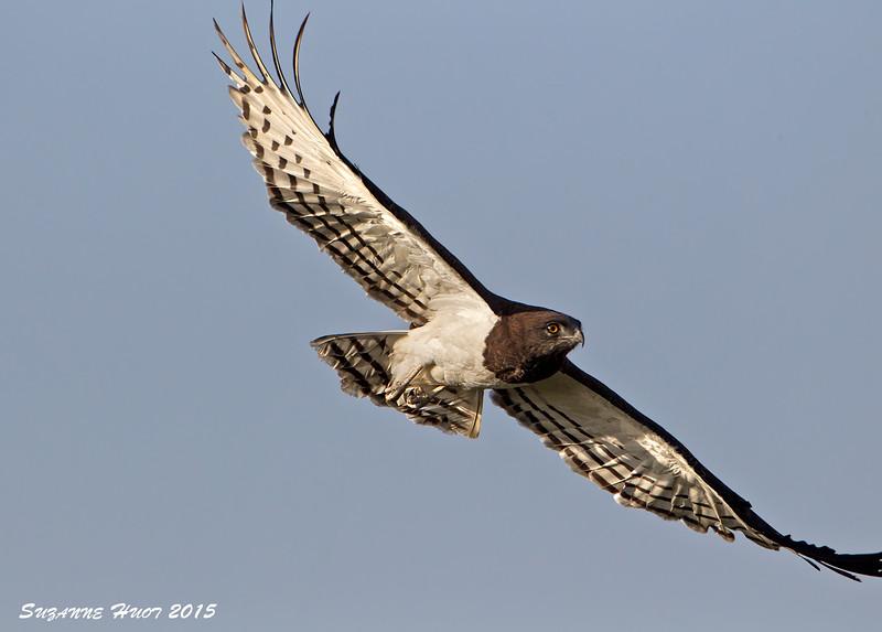 Black-chested Snake Eagle . Ngorongoro Crater.