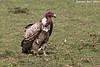 Ruppel's Griffon Vulture, Adult.  Tanzania.